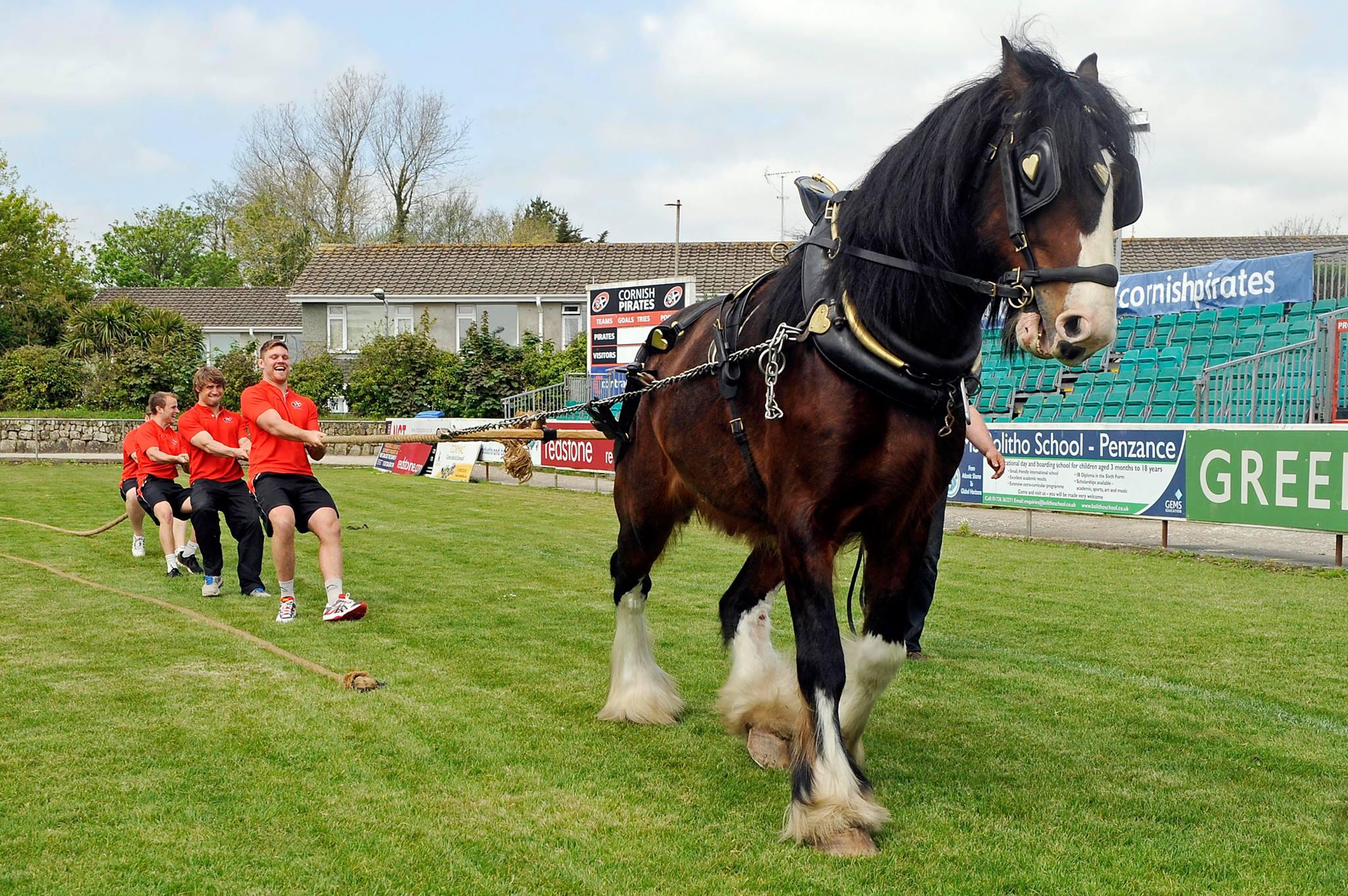 Royal Cornwall Show Shire Horse